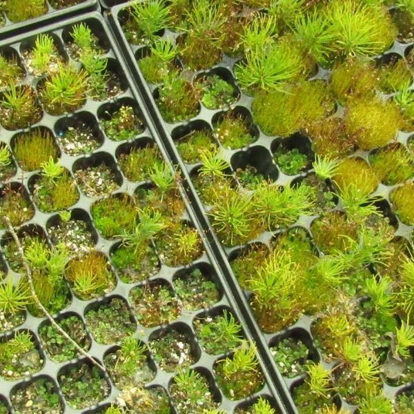Новорожденные горные сосны и немножко мох